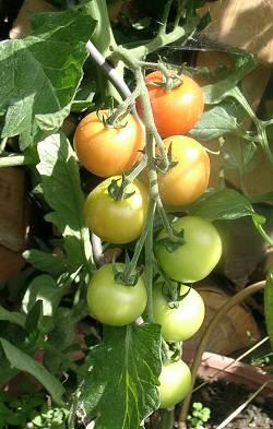 Tomatereif_0
